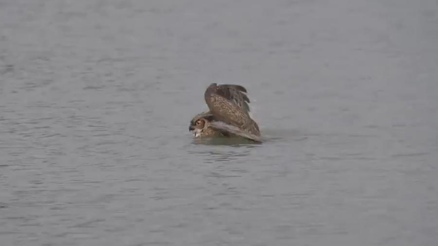 Swimming owl caught on video