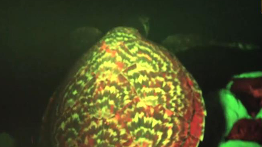 Scientists discover 'glowing' sea turtle