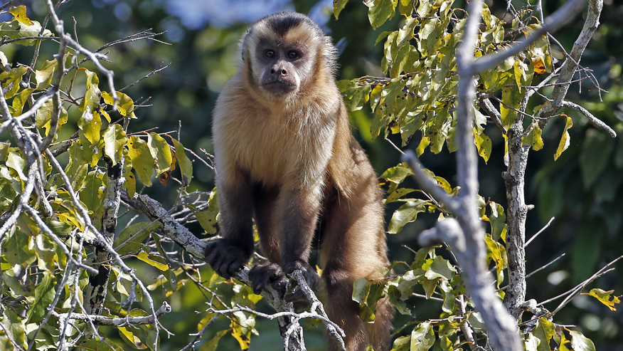 New evidence: South American monkeys came from Africa
