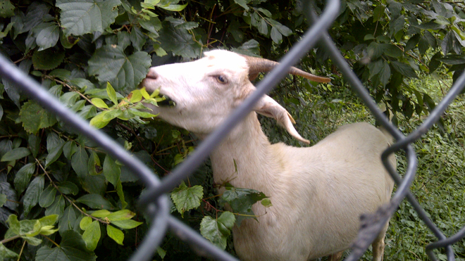Goats are the go-to in historic Congressional Cemetery's eco-cleanup quest