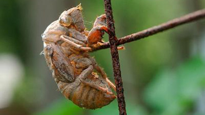 New Jersey braces for once-in-17-years cicada invasion