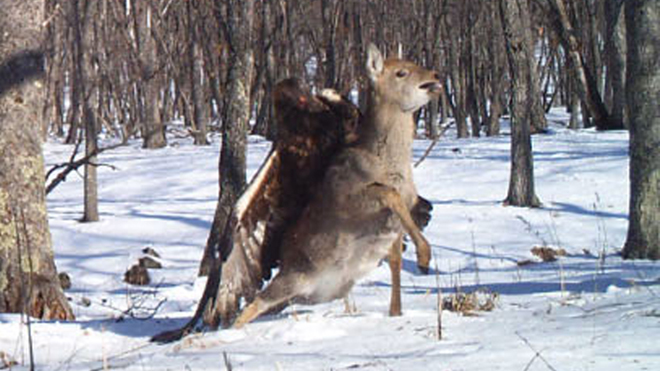 Death match: Eagle takes down deer