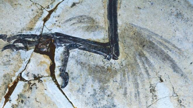 four-winged-bird-foot.jpg
