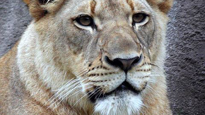 Officials unsure what prompted lion to kill fellow big cat at Dallas Zoo