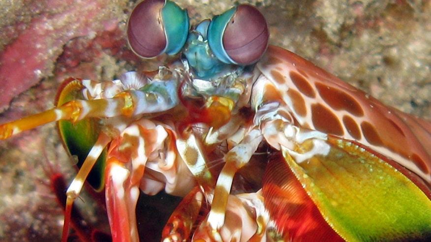 mantis-shrimp-rainbow.jpg