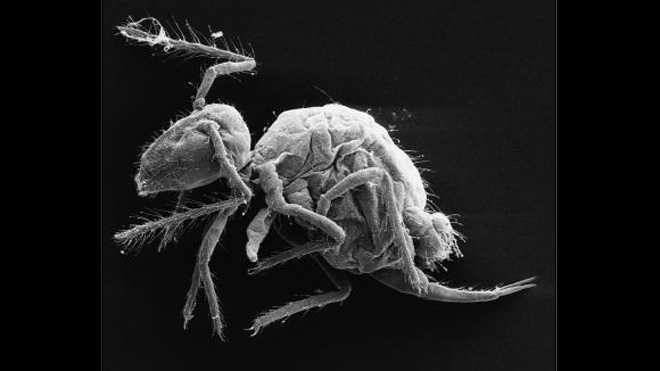 new-springtail-species1.jpg
