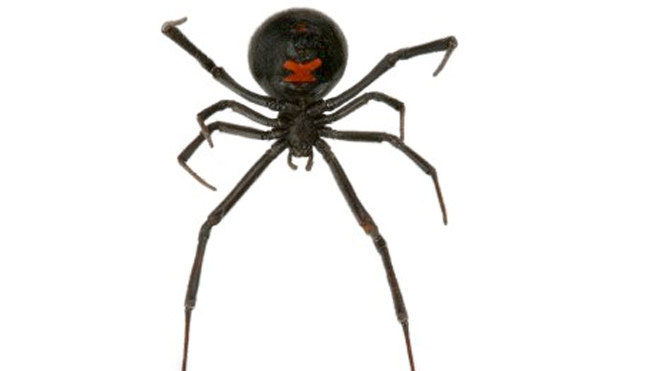 Shoppers get a surprise as black widow spiders found in grapes
