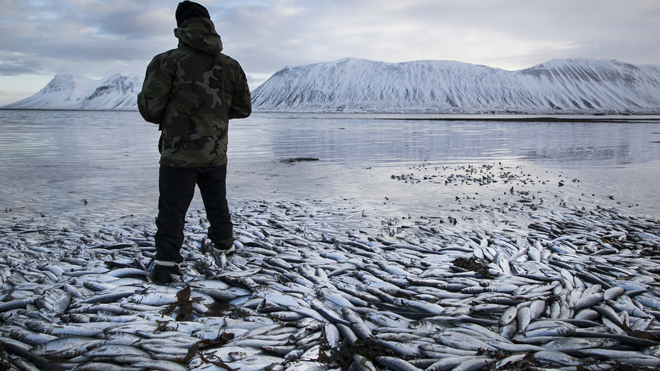 iceland_herring_death_020613.jpg