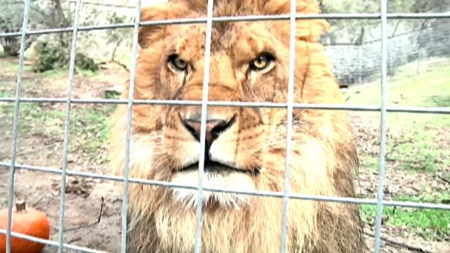 Lion mauls, kills female intern at California animal sanctuary