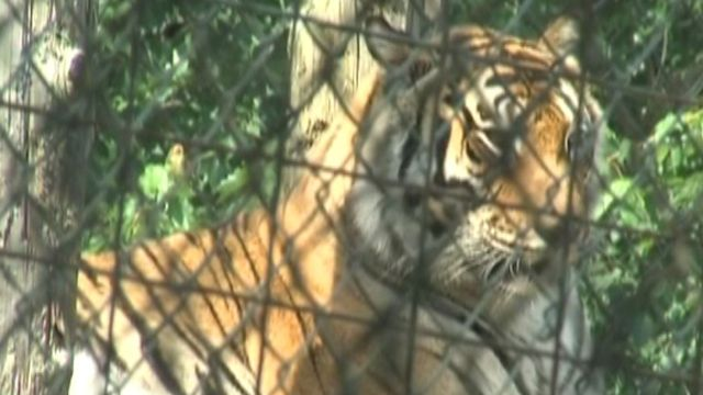 Indiana refuge center worker in critical condition after tiger mauling
